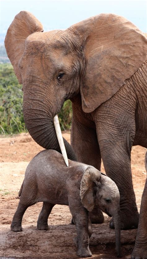 Google Images Elephant | elephant google search animal elephants pinterest