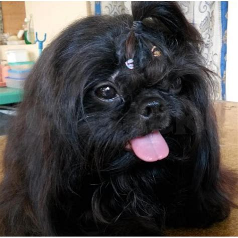 shih tzu service black shih tzu stud service princess type for p250 only pasay claseek philippines