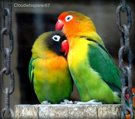 imagenes de love birds eye ring and masked lovebirds agapornis personatus looki