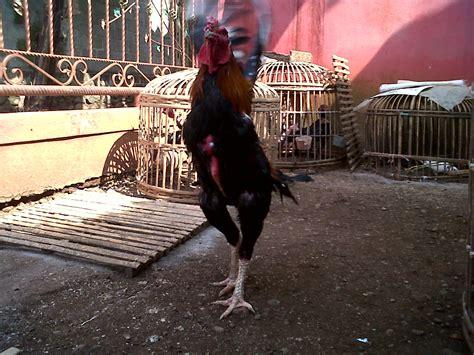 Bibit Ayam Bangkok F1 si panglima bibitan ayam bangkok rooster ayam bangkok