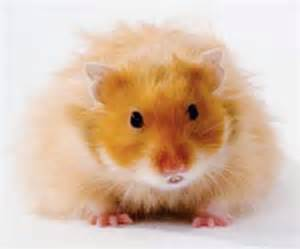Gallery Teddy Bear Hamsters