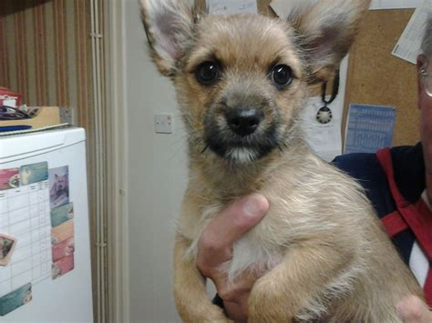 teacup yorkie x chihuahua chihuahua yorkie puppies for sale breeds picture