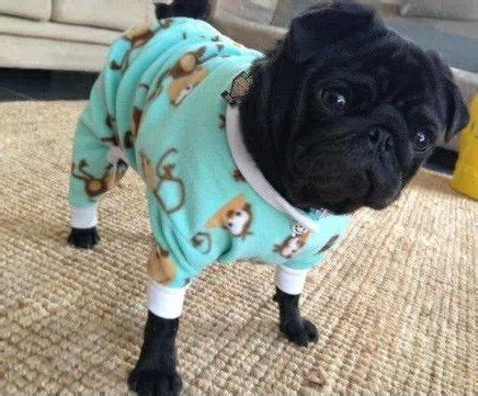 pug puppy clothes 17 best images about a pugs on we ballet and sleep