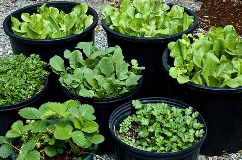 Pot Gardening Vegetables Pot And Container Sizes For Growing Vegetable Crops