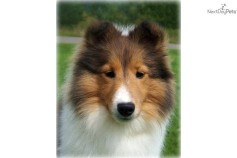 sheltie puppies for sale in nc shetland sheepdog sheltie puppy for sale near carolina a39a27db 8721