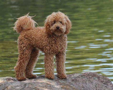 mini labradoodles massachusetts grown cavapoo breeds picture