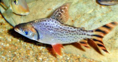 Ikan Gurame Hidup 1kg 23 Ekor ajas manfaat ikan flagtail characin