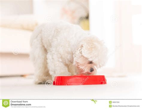 dog eating from bowl stock photo getty images dog eating food from a bowl stock photo image 36907256