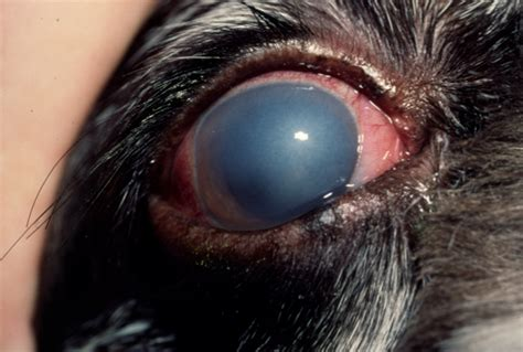 blue film on dogs eyes warum impfen teil 2 der yorkshire terrier blog