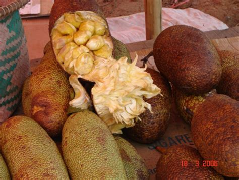 bibit buah cempedak artocarpus cheden spreng cv