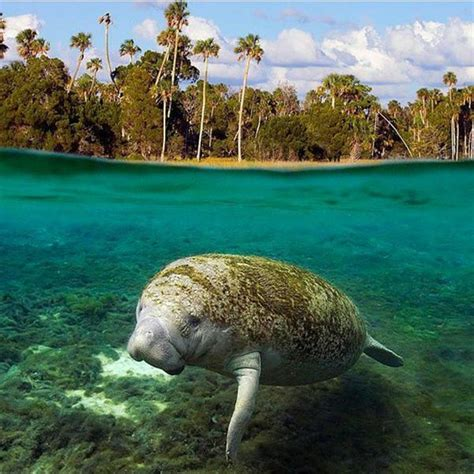 florida cool cool and interesting facts about florida manatees part 1
