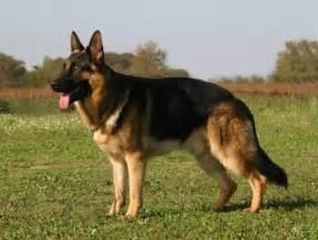 le berger allemand chien chien de berger