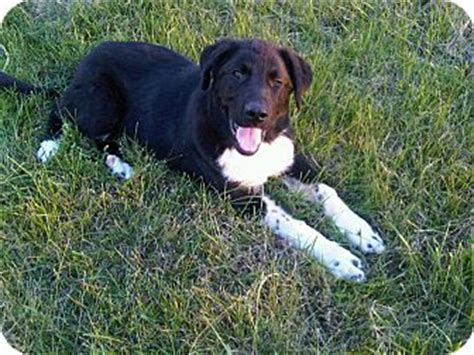 Black Lab Shedding by Great Pyrenees Yellow Lab Mix Puppies Breeds Picture