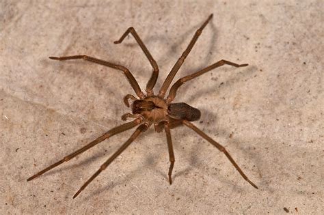 brown recluse image spiders at spiderzrule the best site in the world about