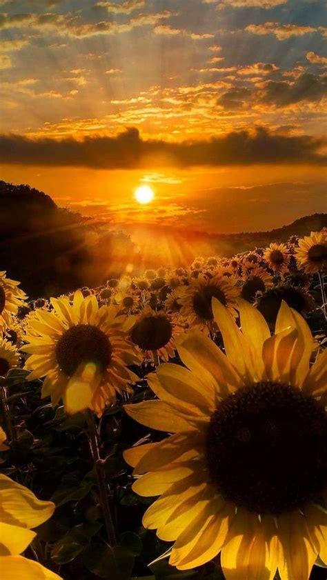 sunflowers wallpaper  indiana    zedge