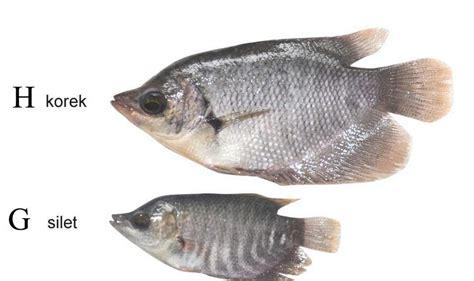 Bibit Ikan Gurame Di Lung budidaya gurame bibit ikan gurame