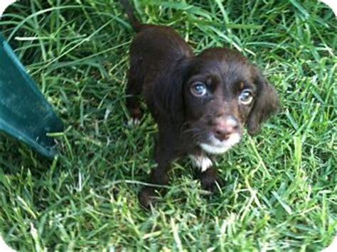 yorkie spaniel mix coco adopted puppy baton la springer spaniel yorkie terrier mix