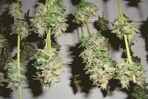 wann cannabis ernten wie und wann cannabis pflanzen ernten irierebel