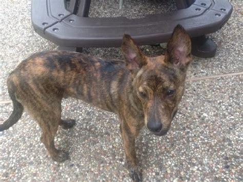 brindle german shepherd puppy found brindle german shepherd houston spca