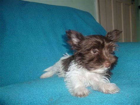 biro yorkies for sale biro terrier ready now sidcup kent pets4homes