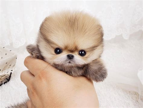 teacup pomeranian puppy boo puppy micro pomeranian tiny teacup dogs expensive dogs want to feed me try
