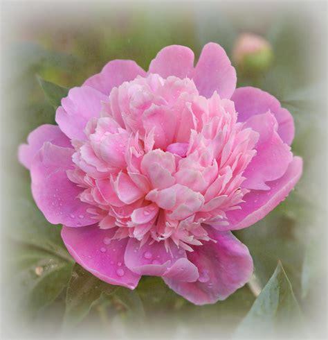 dark pink peony photograph by sandy keeton peony pink photograph by sandy keeton