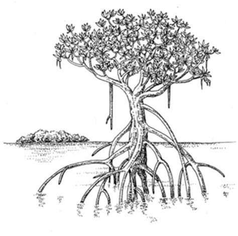 mangrove tree coloring page 1000 images about mangrove on pinterest posts and ideas