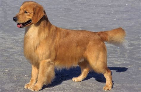 small breed golden retriever golden retriever