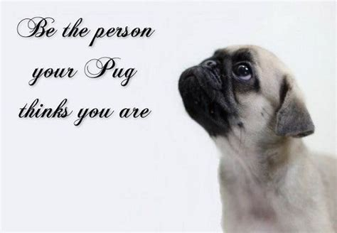 quotes on pugs pug quotes quotesgram
