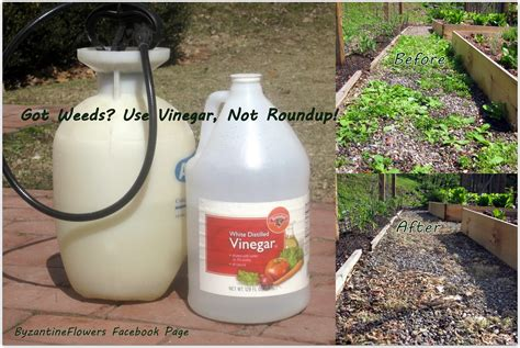 got weeds use vinegar not roundup byzantineflowers