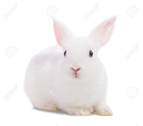 Rabbit White White Rabbit Wallpaper 2160x1920 84582