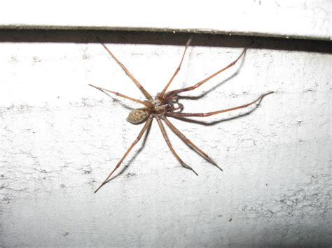 giant house spider seattle giant house spider pictures