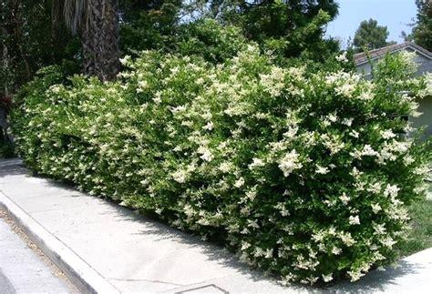 sempreverdi da giardino piante da giardino sempreverdi a cespuglio galleria di