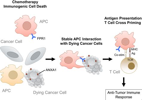 How To Detox Dead Cancer Cells From Chemo And Radiation by Getting Tumor Dendritic Cells To Engage The Dead Cancer Cell