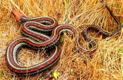 Garter Snake Habitat Sf Garter Snake