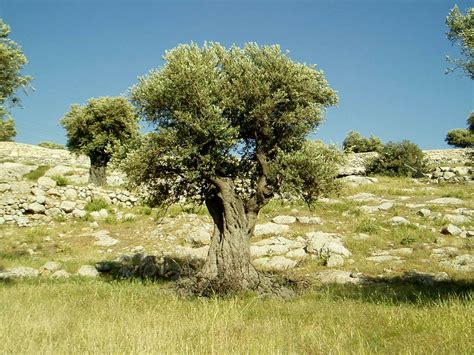 olive trees olive tree horticulture