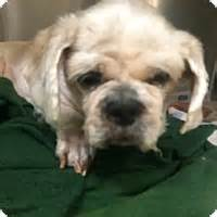 petfinder nj shih tzu oak ridge nj shih tzu meet blue a for adoption