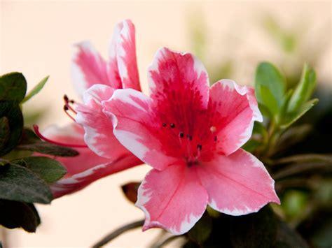 primula rossa fiore nomi e immagini di fiori di primavera 35 foto