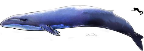 Who Sings For Blues How Blue Whales Became Ingredients In - image blue whale and hector dolphine colored jpg