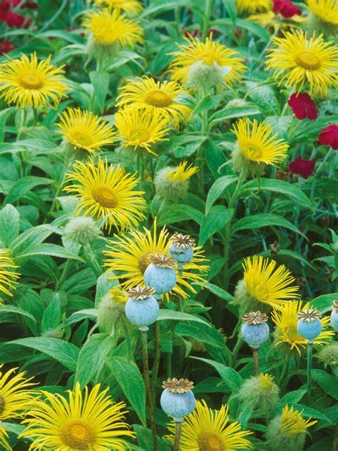 perennial plants for fall perennial flowers hgtv