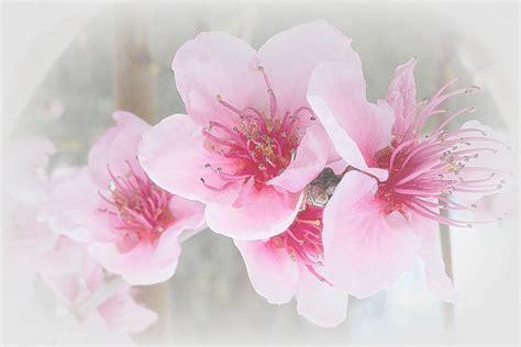 fiori pesco ste artistiche quadri e poster con pesco rosa zen
