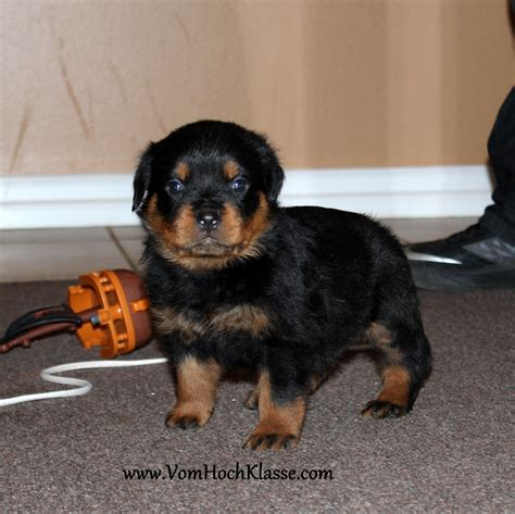 rottweiler puppies in louisiana pin graman rottweiler puppies for sale in harvey louisiana on