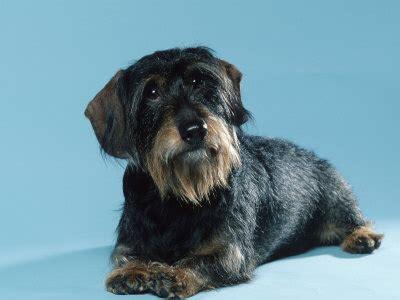 wire hair dachshunds