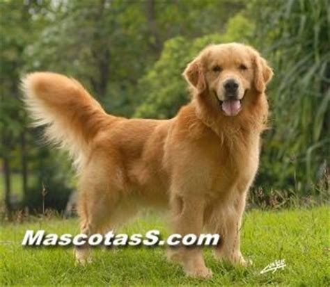golden retriever pelo raza perro golden retrievers