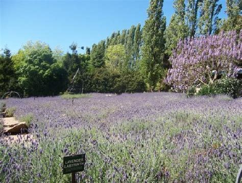 lavender maze australia s oldest and most famous traditional hedge maze