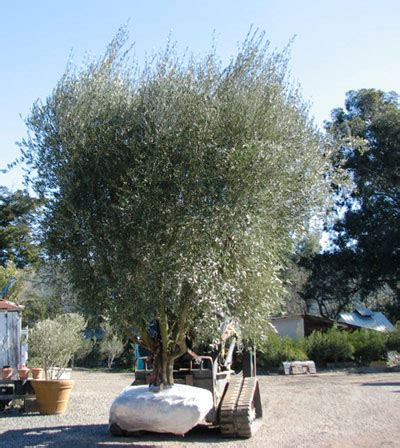 how much does olive trees cost olive tree farm nursery careful selection delivery and planting