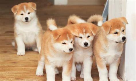 Imagenes De Animales Japoneses | las m 193 s famosas razas de perros japoneses 161 desc 250 brelos