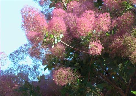 alberi con fiori rosa alberi ornamentali viola notizie it
