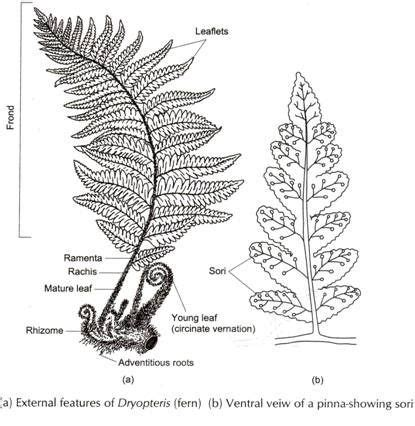 diagram of a fern sori diagram search experimental horticulture