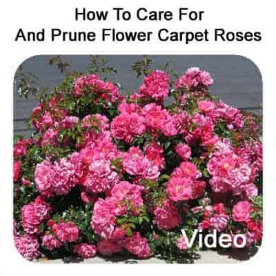 how to care and pruning flower carpet roses